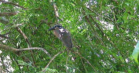 Broad Billed Heron Boat-billed Heron