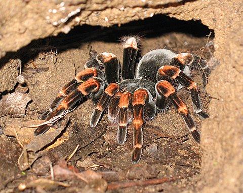 Spider wasp  Wikipedia